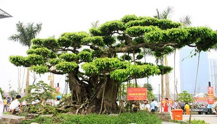 Cây sanh Tam đa của ông Nguyễn Công Khanh ở thôn Vị Khê, xã Điền Xá, huyện Nam Trực, tỉnh Nam Định. Là cây sanh có gốc cổ thụ được định giá hơn 20 tỷ đồng.