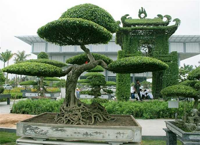 Dáng Thăng Long: Là cây sanh của ông Hoàng Quân (Thái Bình) đã có người ở trong Sài Gòn trả tới 60 tỷ đồng nhưng ông Quân không bán.
