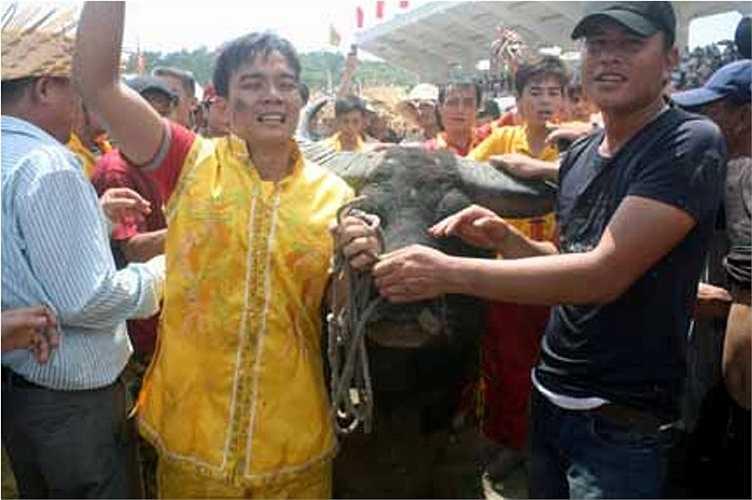 Ông Trâu số 25 giành giải vô địch hội chọi trâu Đồ Sơn năm 2012