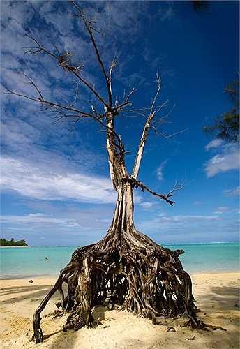 Cây xanh bị nước xói mòn trơ gốc bên bãi biển Muri, đảo Rarotonga thuộc quần đảo Cook, phía nam Thái Bình Dương.