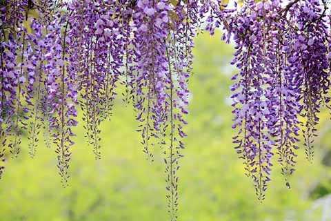 hoa thành từng chùm thành màu xanh dương, màu hồng hoặc trắng.