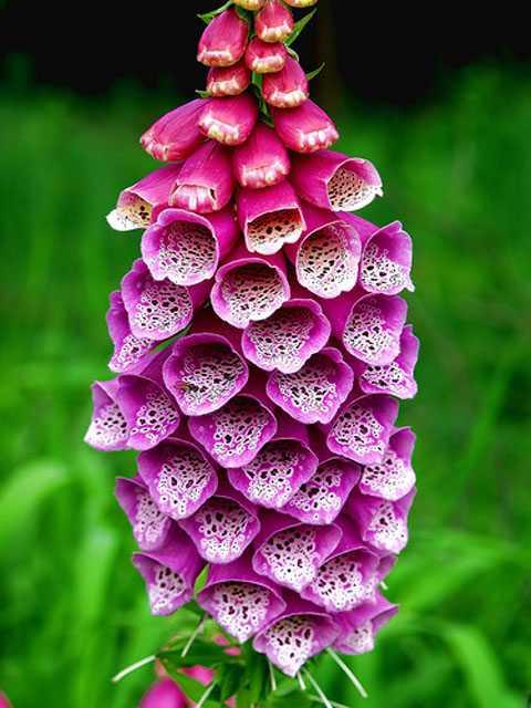 Hoa mao địa hoàng biến sắc đa dạng từ tím sang cam đen, hồng đỏ rồi đến kem và trắng.