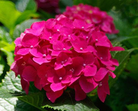 Hoa mọc thành những chùm hình tròn như quả cầu với các màu trắng hoặc xanh dương đậm.