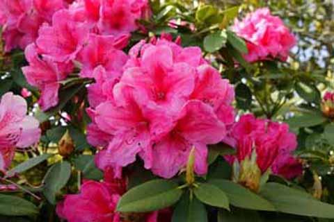 Những chùm hoa nở rộ với các màu hồng hoặc tím vào cuối xuân.