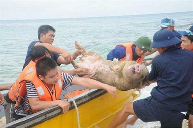 Hơn 120 con heo sống được chuyển ra các đảo cho các chiến sỹ làm thịt. Trong ảnh là cảnh chuyển lợn từ ca nô lên đảo An Bang.