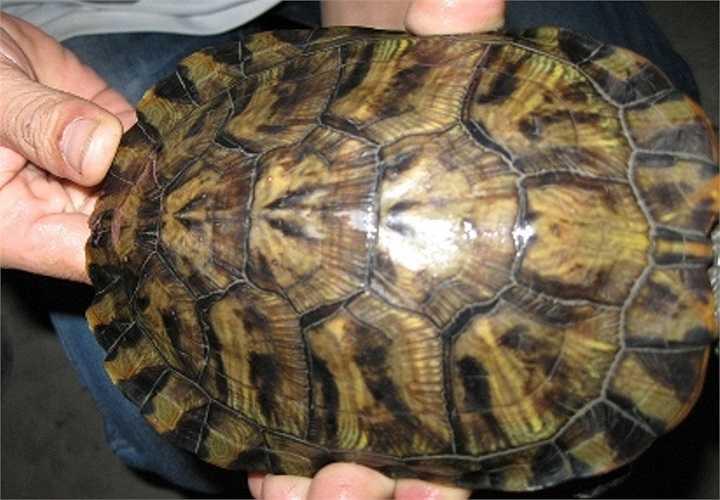 Mai rùa có vị ngọt, tính hàn, không độc, bổ âm dưỡng huyết, trị sốt rét, ho, lỵ, thận âm hư, hỏa bốc, di tinh, bạch đới, rong huyết...