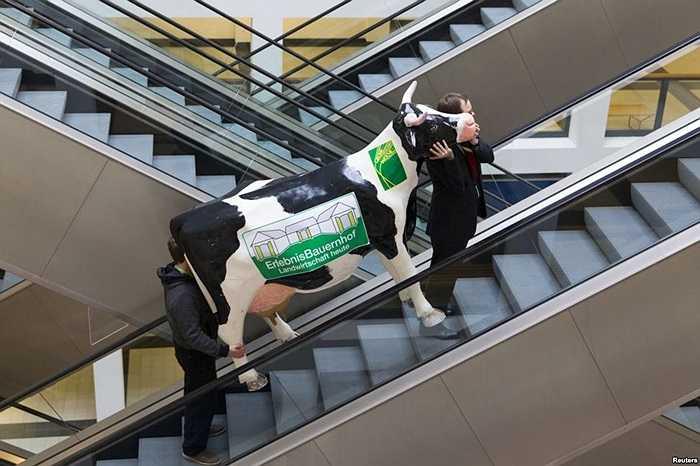 Con bò giả được đưa lên thang máy chuẩn bị cho lễ hội nông nghiệp thực phẩm quốc tế ở Berlin, Đức