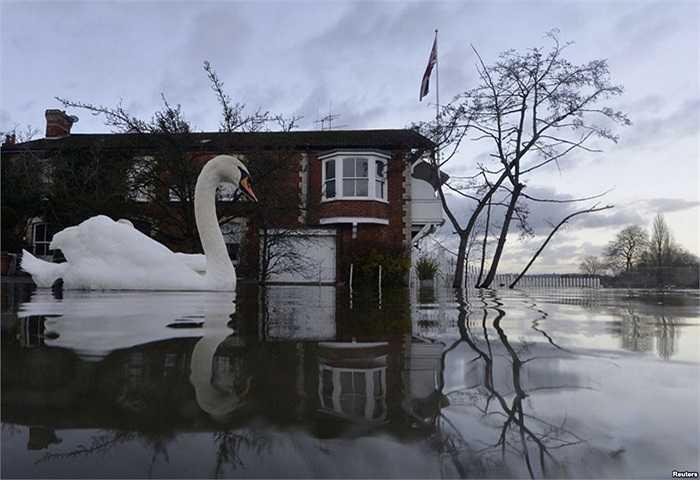 Thiên nga bơi gần những ngôi nhà nằm gần bờ sông, ở Henley-on-Thames miền Nam nước Anh, đang bị ngập trong nước lũ