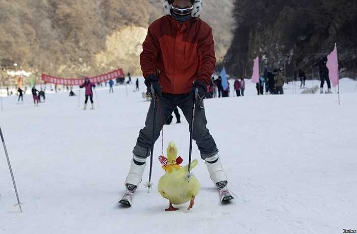 Thí sinh tranh tài với con vịt của mình trong cuộc thi trượt tuyết với thú nuôi tại một khu trượt tuyết ở Tam Môn Hiệp, tỉnh Hà Nam, Trung Quốc