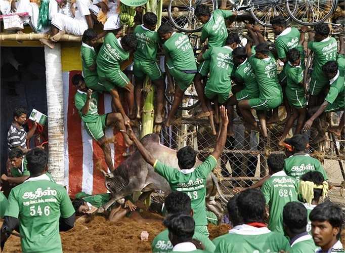Dân làng bị con bò quật ngã trong khi những người khác leo lên hàng rào để tự vệ trong một lễ hội thuần phục bò ở vùng ngoại ô thị trấn Madurai, Ấn Độ