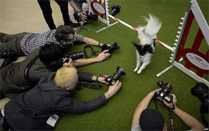 Con chó nhảy qua chướng ngại vật trong một sự kiện báo chí tại Madison Square Garden trong khuôn khổ cuộc thi chó Westminster Kennel Club Dog lần thứ 138 ở New York