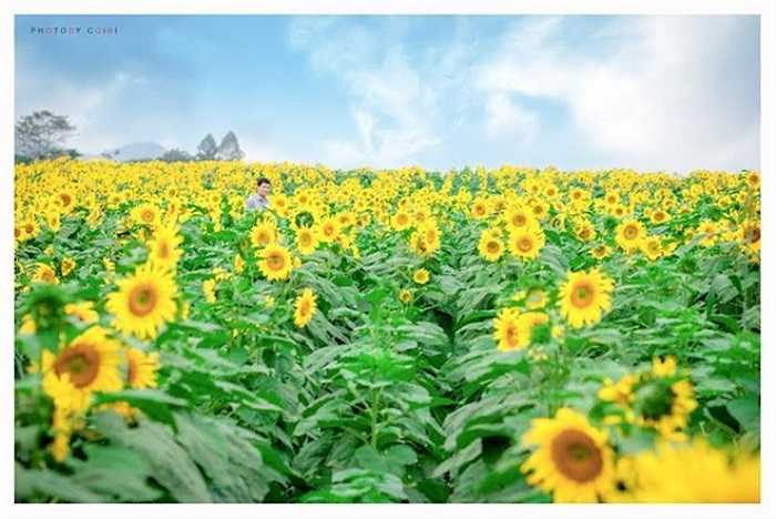 Mỗi dịp cuối năm, cánh đồng hoa hướng dương tại vùng Tây Bắc Nghệ An, thuộc địa phận huyện Nghĩa Đàn, dọc đường Hồ Chí Minh lại nở ngợp khiến nơi đây trở nên đẹp đẽ vô cùng. (Ảnh: Còi Bi).