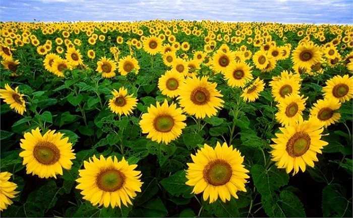 Những bông hoa đua sắc, hướng về phía mặt trời. Đây cũng là điểm dừng chân, vãn cảnh của đông đảo khách du lịch. (Ảnh: Còi Bi).