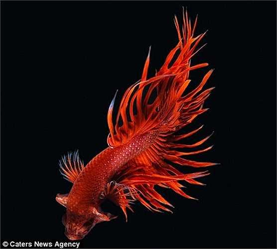 Cá chọi đỏ rực rỡ