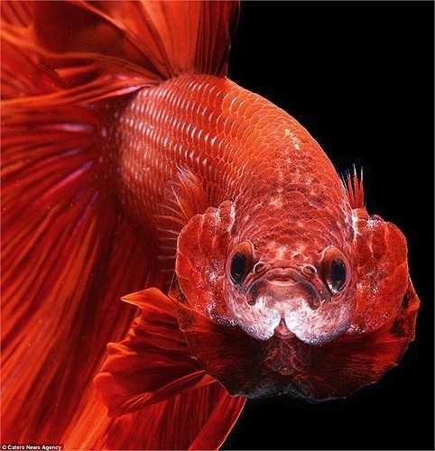 Cận cảnh khuôn mặt một con cá chọi đỏ sặc sỡ
