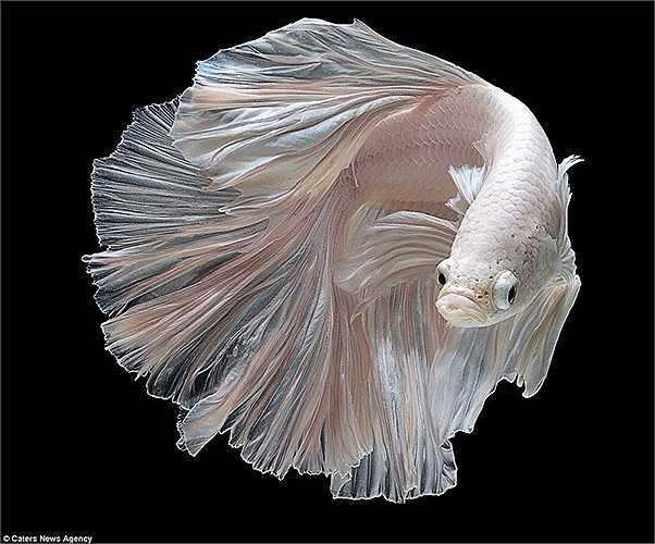 Một con cá chọi trắng nhìn như vũ công giữa không gian lơ lửng
