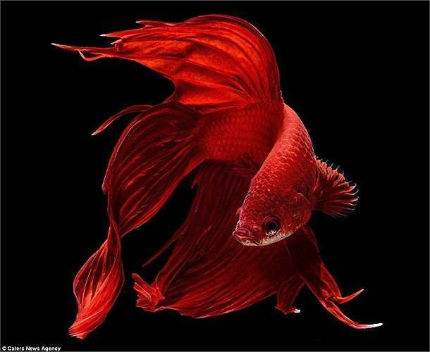 Con cá chọi đỏ rực trên nền đen