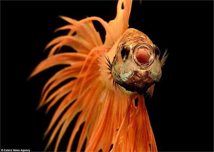 Mỗi bức ảnh đều là một khoảnh khắc đặc biệt với loài cá này