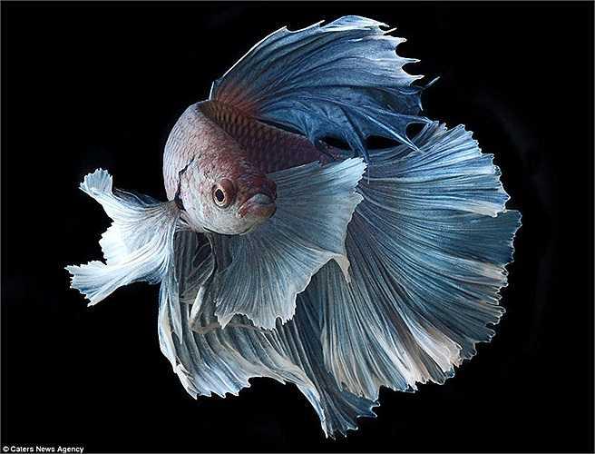Với những chiếc vây bản rộng và mềm, cá chọi trông như các vũ công trên sân khấu