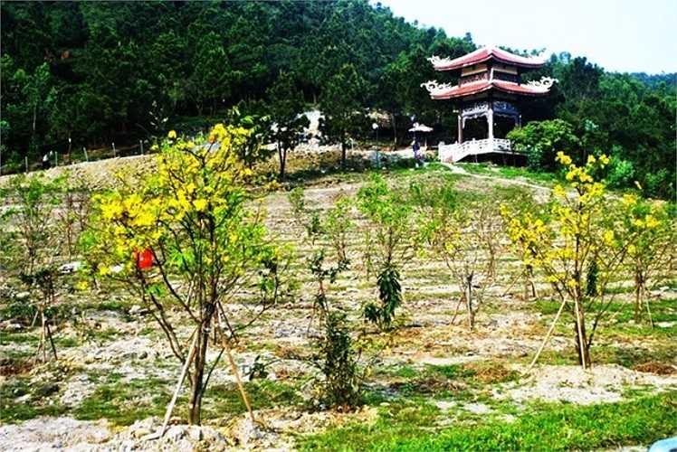 103 cây mai vàng tượng trưng 103 tuổi của Đại tướng được các đoàn viên, thanh niên Huyện đoàn Quảng Trạch lựa chọn tại một số tỉnh ở khu vực Bắc miền Trung đem về trồng xung tại khu mộ. Sau một thời gian trồng, rất nhiều cây đã đâm chồi nảy lộc và ra hoa.