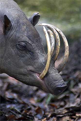 """Ở Indonesia có loài lợn kỳ lạ nhất thế giới. Sở dĩ chúng được cho là kỳ lạ, bởi loài lợn này có bộ răng nanh cùng 2 chiếc """"sừng"""" mọc ở sống mũi."""
