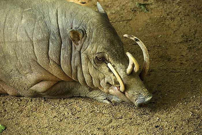 Loài lợn hươu ăn khá tạp. Chúng thích lá, rễ, hoa quả và kể cả động vật. Bộ hàm mạnh mẽ của lợn hươu có dễ dàng cắn vỡ hạt cứng.