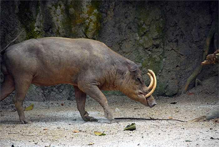 Trong tự nhiên, một đàn lợn hươu cái có thể lên đến gần 100 con.