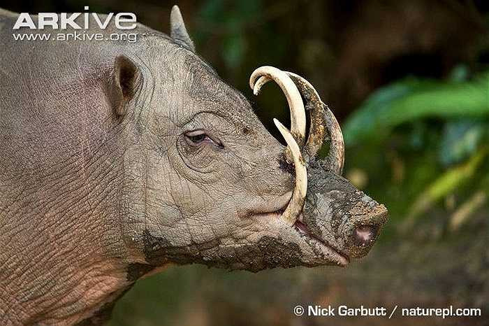Lợn hươu được biết đến nhờ hai cặp răng nanh của chúng: cả hai cặp răng nanh trên và dưới đều khá lớn, cong ngược và uốn về phía sau rồi sau đó uốn ngược trở lại phía trước.