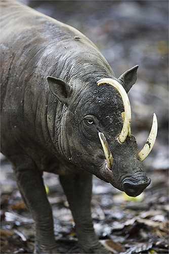 Lợn cái có hai bộ nanh ngắn hơn. Sau thời gian mang thai khoảng 125 đến 150 ngày, con cái thường đẻ 2 con.