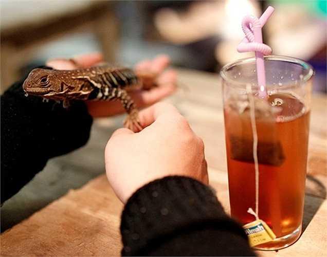 Đây cũng được coi như trụ sở của Câu lạc bộ những người yêu thích động vật và thiên nhiên, với trên 3.000 thành viên. Trong ảnh là một khách hàng vừa uống nước vừa làm quen với chú rắn sữa 3 tuổi rưỡi. Đây là loài rắn có nguồn gốc ở vùng Đông Bắc Mexico, và là loài vật được chủ quán thích nhất.