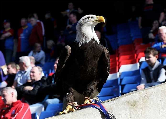 Chú chim đại bàng mà CĐV Crystal Palace đã mang tới sân Selhurst Park đã dọa thành công The Blues?