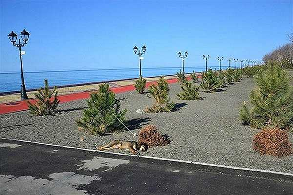 Chó hoang nằm ngủ ven đường, một cảnh tượng không mấy lạ ở Sochi.