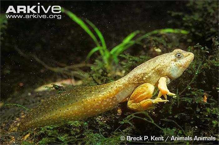 Một vài năm gần đây số cá thể của loài ếch này đang giảm manh nên chúng là một trong những loài được quan tâm nhất trong sách đỏ của IUCN