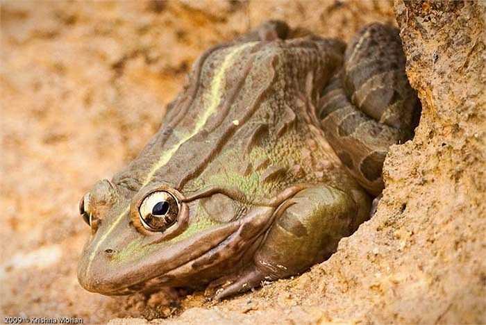 Chúng sinh sống trong các hố đất hoặc trong các bụi cây rậm gần ao hồ hoặc đầm phá.