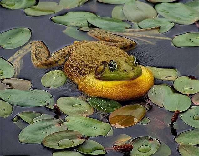 Loài ếch này không chỉ nổi tiếng vì có kích thước ấn tượng mà nó còn là loài ếch có nhiều màu sắc rất đẹp và đa dạng