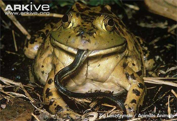 Chúng ăn tất cả mọi thứ gặp trên đường từ côn trùng, động vật có vú nhỏ đến các con chim nhỏ, thậm chí cả rắn độc