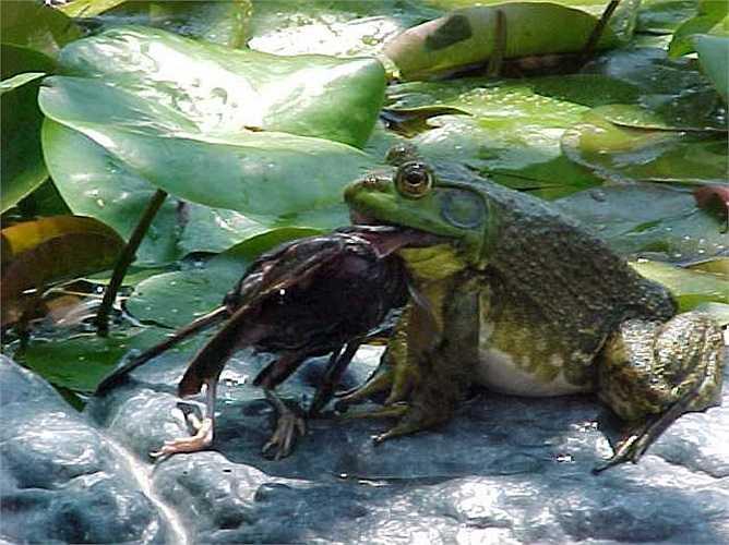 Chân của chúng được bao phủ hoàn toàn bằng một lớp màng nên chúng có thể dễ dàng nhảy trên mặt nước như nhảy trên cạn.