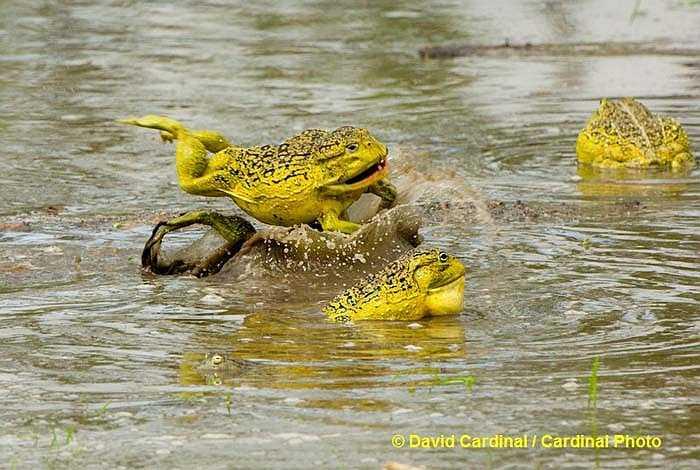 Mùa sinh sản của Ếch ương Ấn Độ là vào mùa mưa trong năm. Ếch đực chẳng buồn đợi ếch cái chuẩn bị, chúng cứ thế 'tiến hành' công việc cần thiết của mùa giao phối thôi.