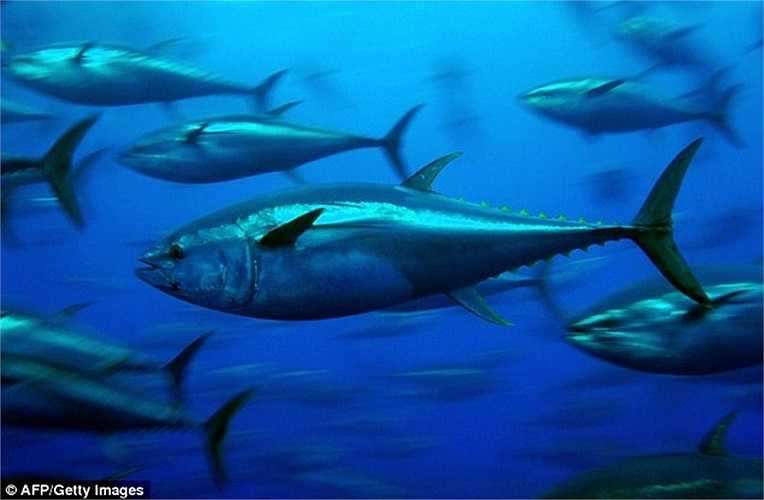 Những đàn cá ngừ di chuyển dưới lòng biển