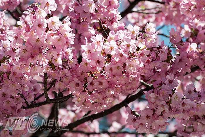 Dịp tuần 3 của tháng 3 đến hết tuần 2 của tháng 4 hàng năm, hoa anh đào ở Nhật bản nở rực rỡ nhất.