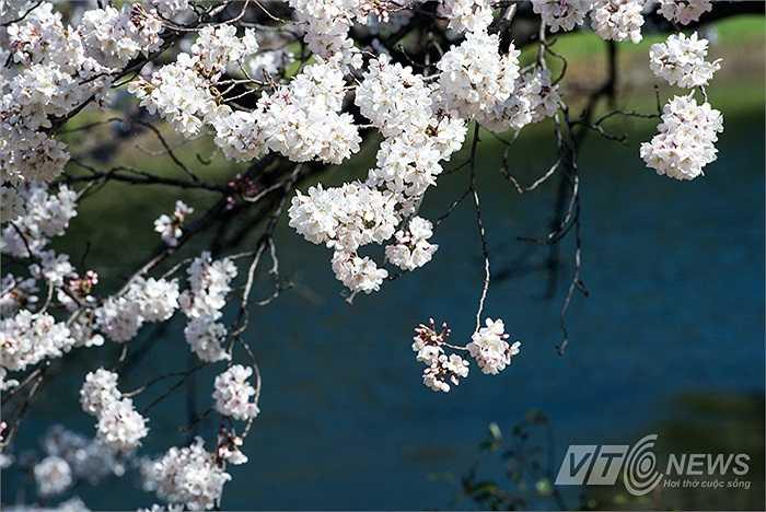 Với người dân Nhật bản, đây là những ngày vui thật sự, họ được chứng kiến sự tươi đẹp của mùa xuân.