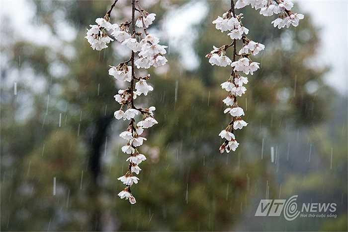 Hoa anh đào nở khắp nơi trên nước Nhật với 3 màu chủ yếu: trắng, hồng và đỏ