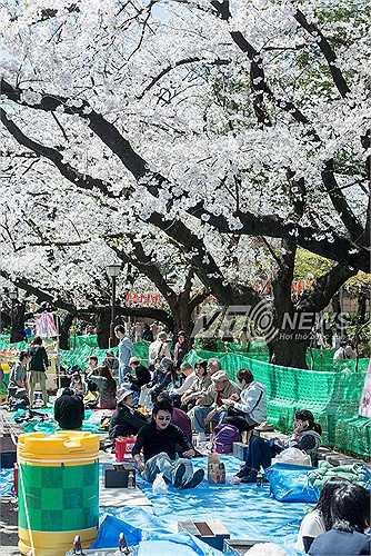 Những người dân Nhật Bản những ngày này, thường cùng cả gia đình tới các công viên có hoa để vui chơi.