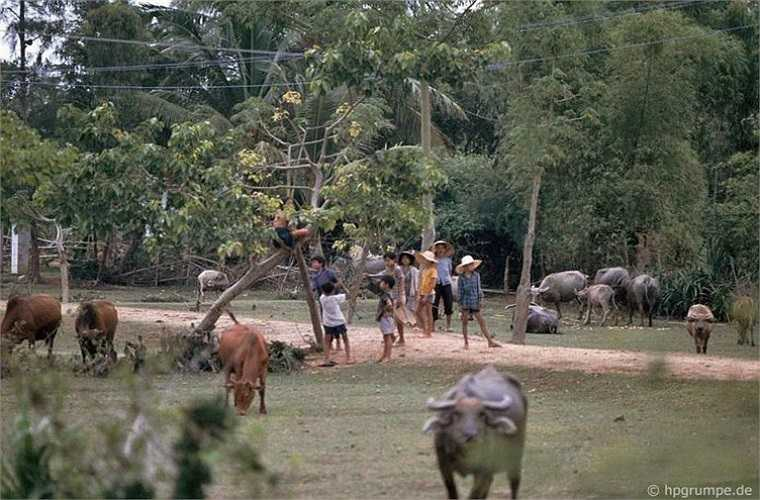 Trẻ em bên những đàn trâu bò.