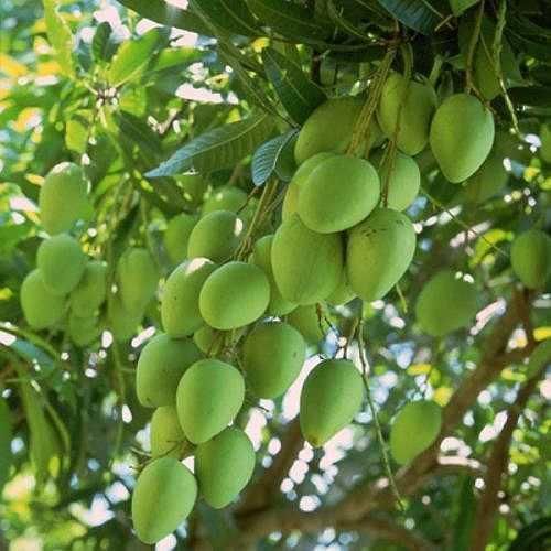 Xoài xanh. Ăn quá nhiều xoài xanh có thể làm tăng lượng a-xit trong bao tử, gây cảm giác khó chịu như xót ruột, đầy bụng, thai phụ nên cẩn trọng khi ăn loại quả này.