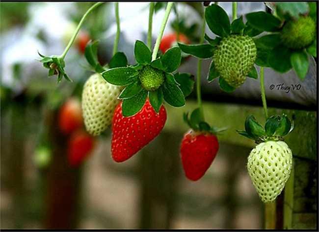 Dâu tây là một trong những loại trái cây được sử dụng nhiều nhất ở bang California và ruộng dâu ở Nam Mỹ có khi còn nhiều hơn. Nông dân thường hay đùa rằng dâu tây có khi còn làm nguồn nguyên liệu thuốc trừ sâu được vì bản thân nó chứa cực kì nhiều độc tố.