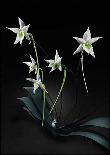 Với những bông hoa kính đẹp mê hồn như vậy, không có gì ngạc nhiên, khi giá của chúng lên tới 15.000 USD/cành (hơn 317 triệu đồng).