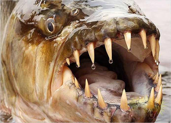 Hydrocynus goliath, được biết đến với tên gọi cá cọp khổng lồ, là một trong số những loài cá nước ngọt lớn nhất.
