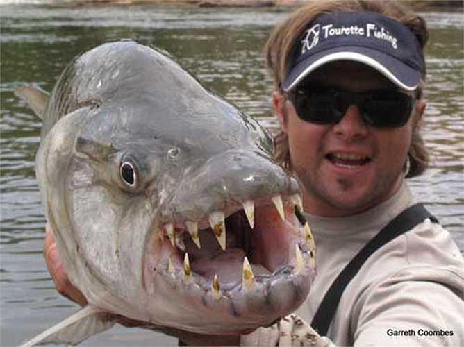 Đây là loài hung dữ nhất trong các loài cá nước ngọt.