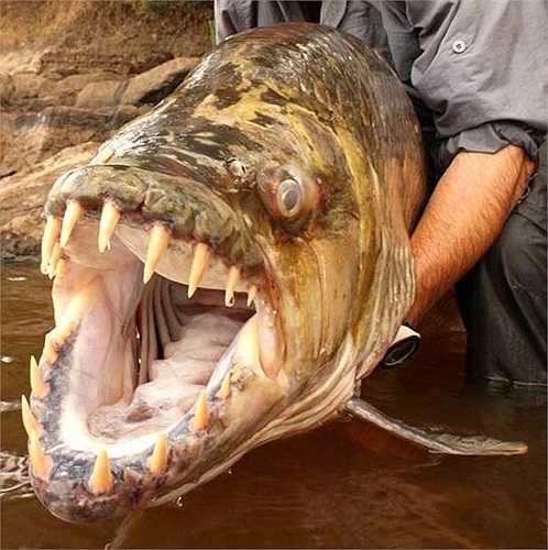 Hydrocynus goliath được tìm thấy trong lưu vực sông Congo. Chúng cũng có mặt ỏ sông Lualaba và hồ Upemba, hồ Tanganyika.